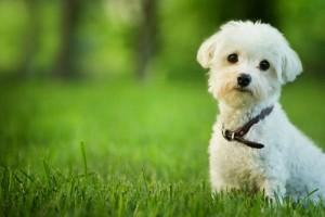 dog.small.white